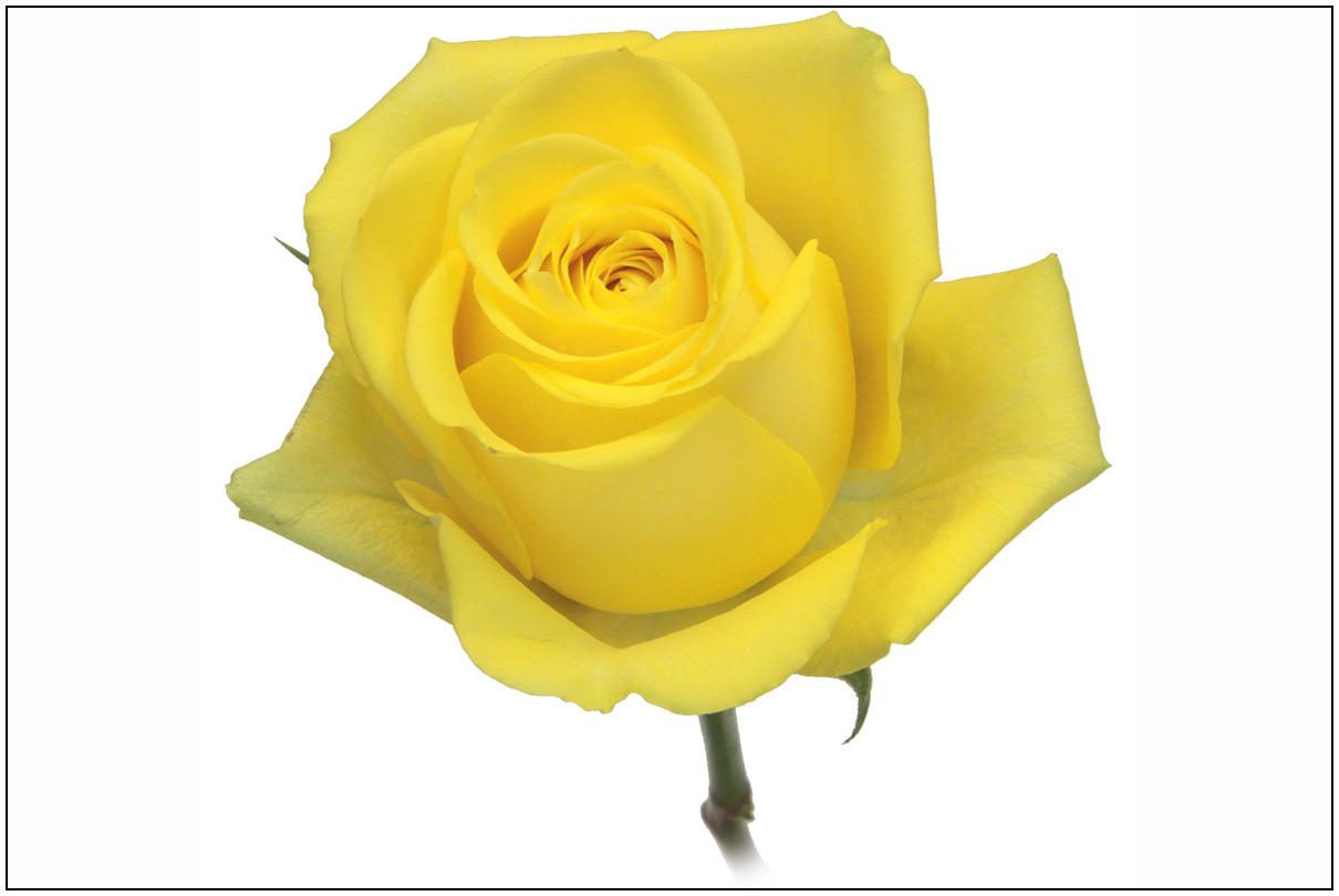 18da5883666c Roses – Falcon Farms