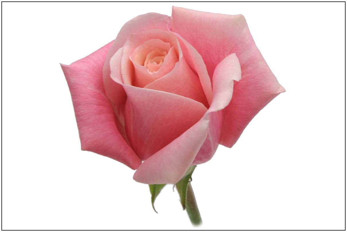 panama rose variety
