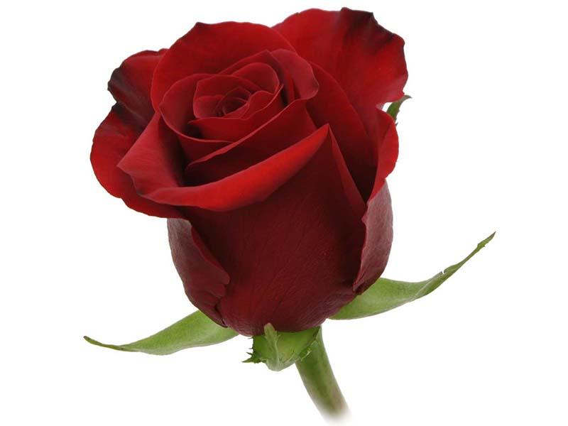 See our rose varieties